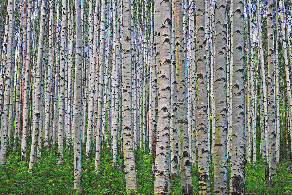 Birch tree trunks in forest