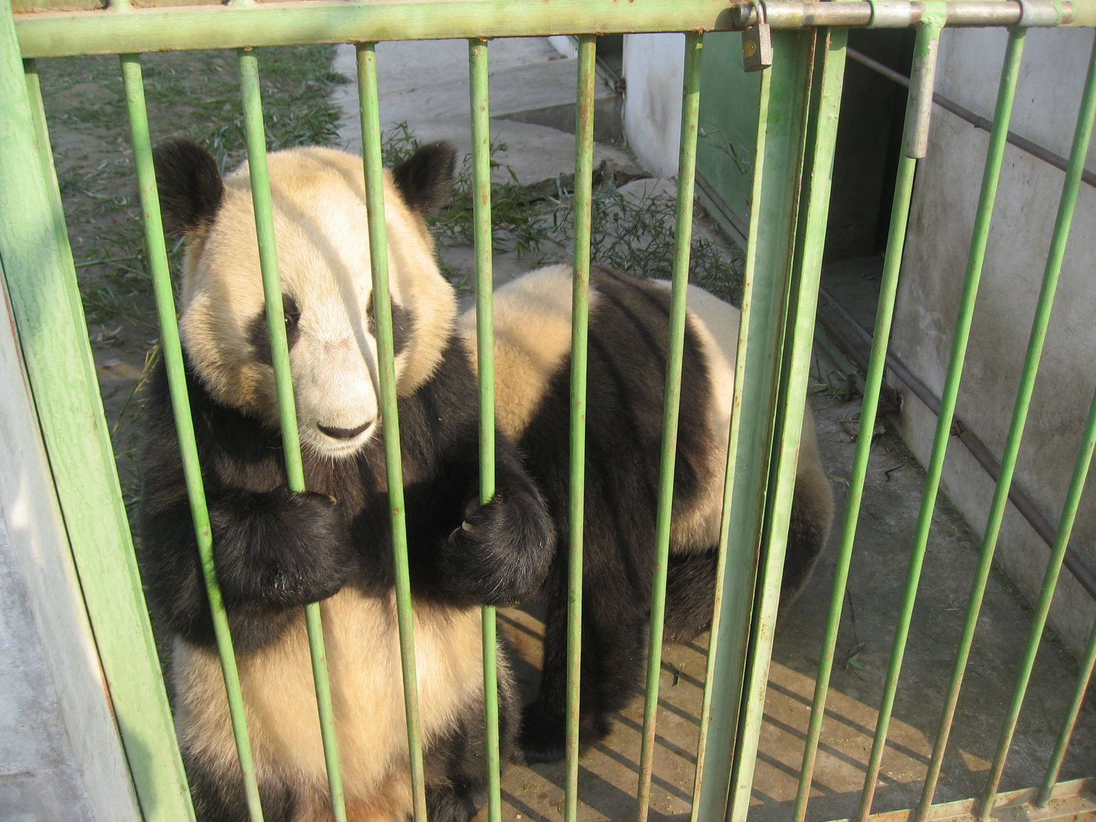 Panda behind bars