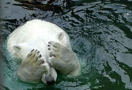 Polar Bear Covering Eyes