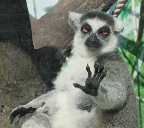 Lemur With Hand Up